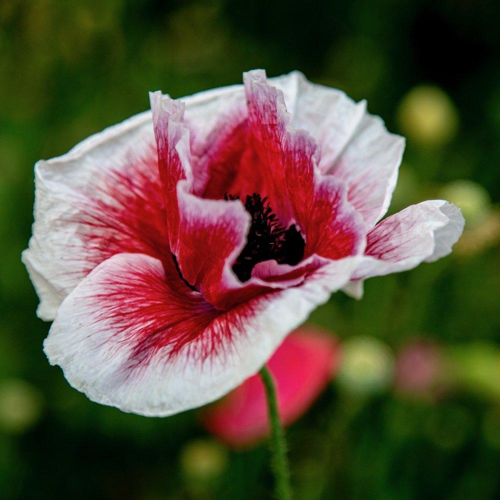 Vancouver Wildflowers - 9.jpg