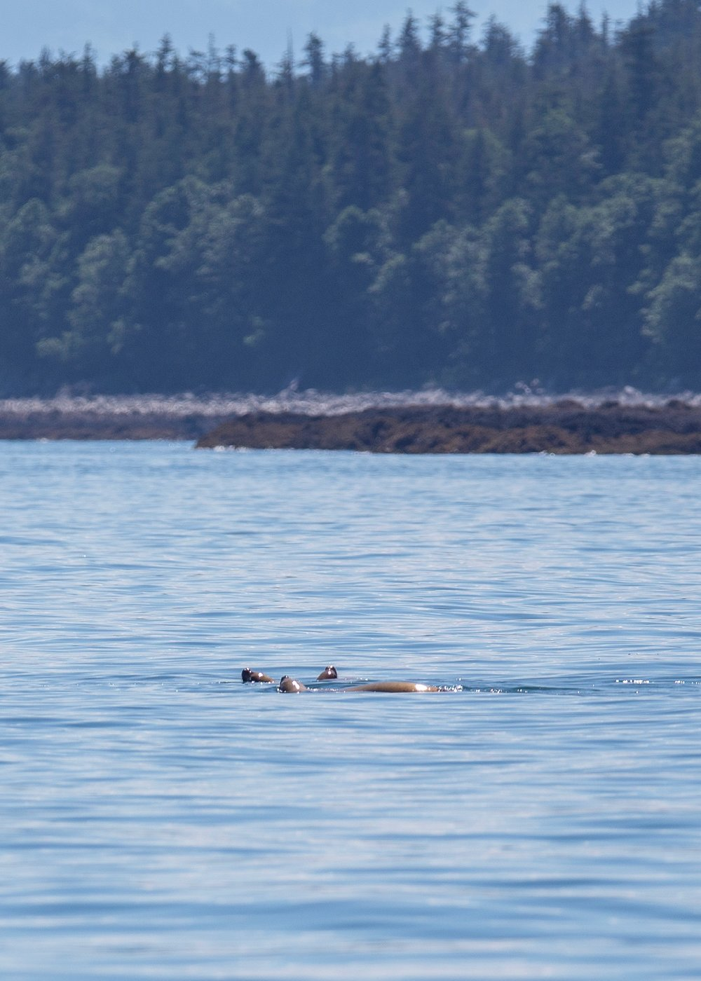 Not far from the orcas a few stellar sea lions were playing in the water. At some point they must have become aware of the orcas, because all of a sudden they made a beeline for shore, splashing and making a racket as they went. It was pretty entertaining - not for them I'm sure!