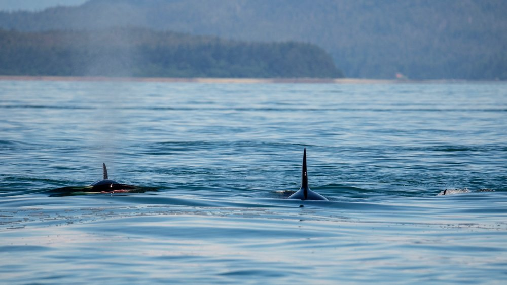 Three of the orcas after the hunt. If you look at the one on the left, you can see a splash of pink at the water line.
