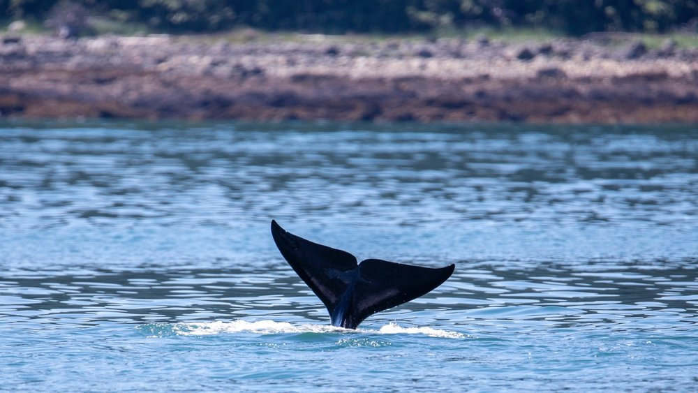 We got one last tail wave before we had to move on and leave the orcas to their hunting.