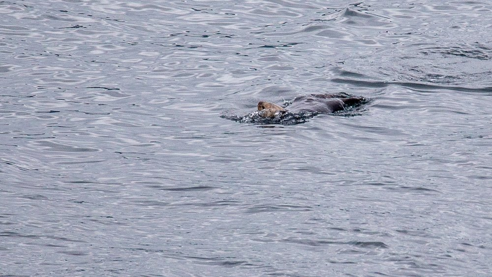 A sea otter, way out in the channel