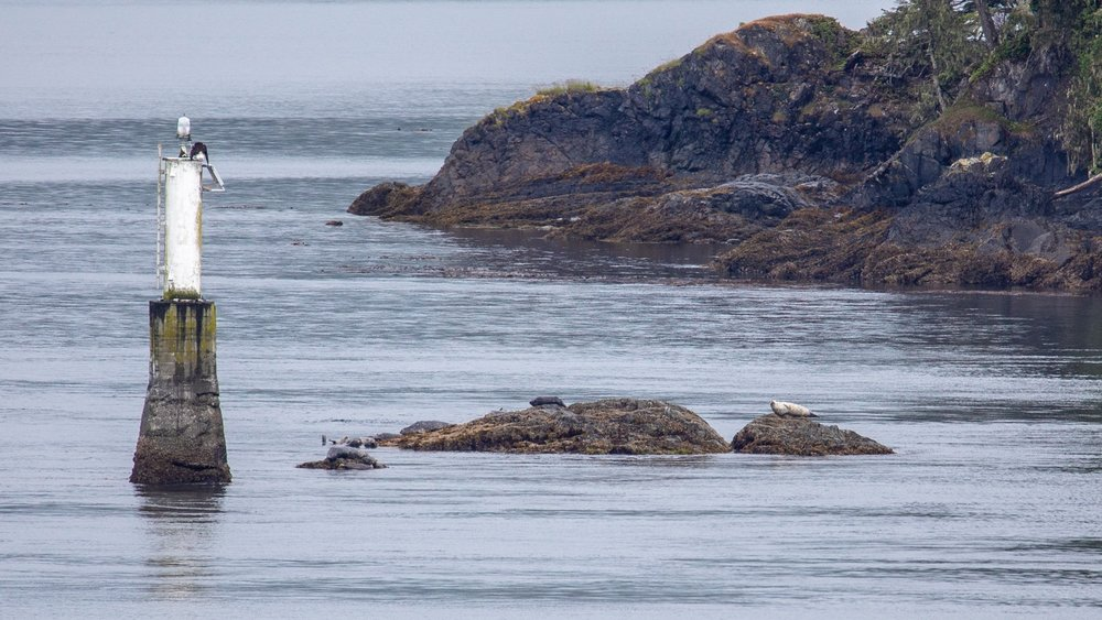 Two for one - a bald eagle on top of the marker, and a harbor seal on the rock.