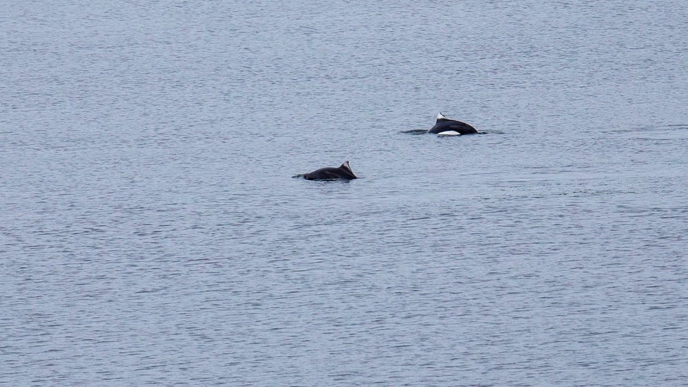 Some more Dall's Porpoises.