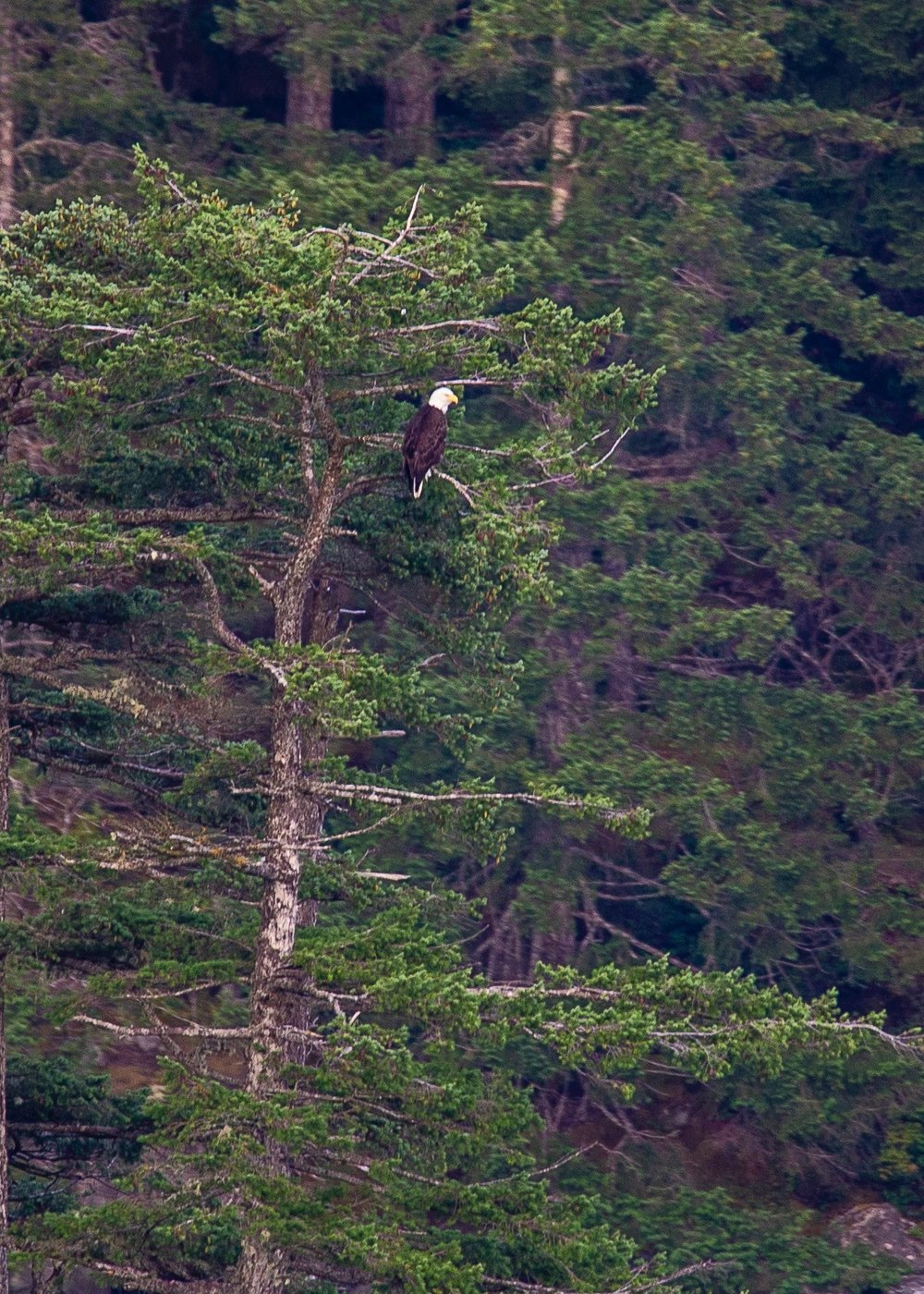 One last bald eagle.
