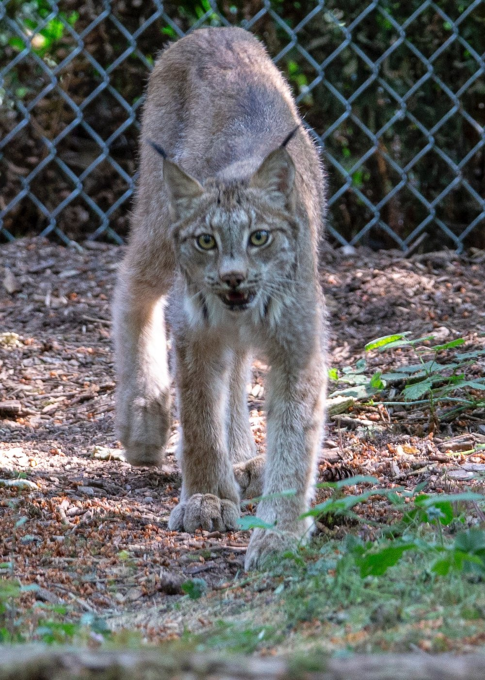 The Canadian Lynx was up and wandering about it's habitat.