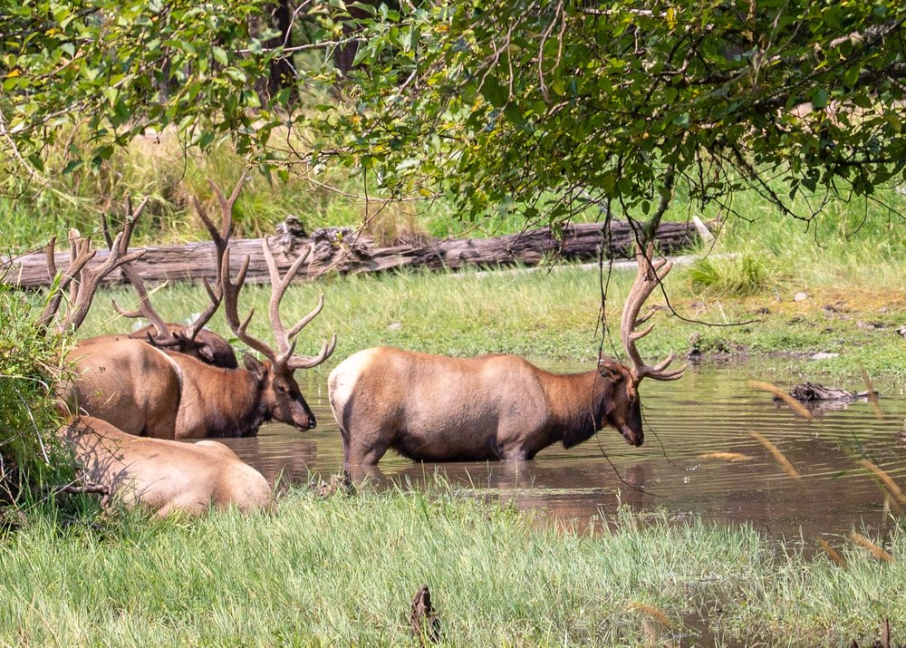 The male Roosevelt Elk were all hanging out together in a pond enjoying the cool water.