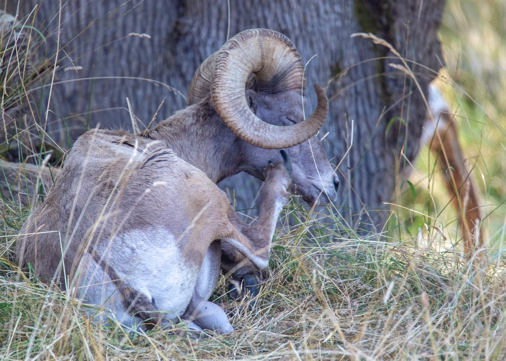 The bighorn sheep were also trying to stay cool in the shade.