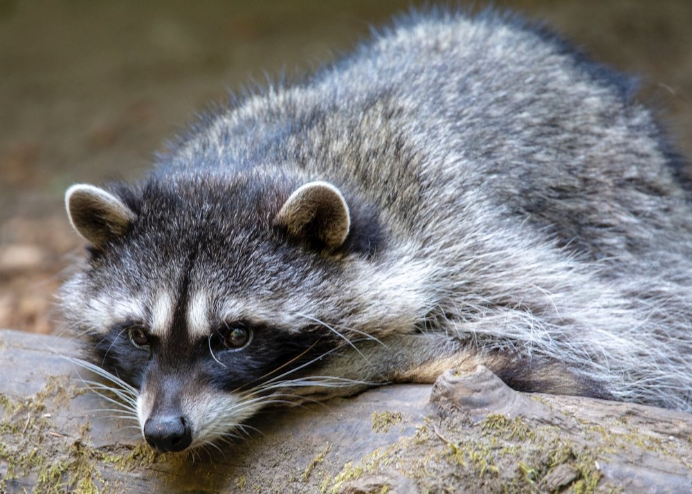 It's a tough life being a raccoon.