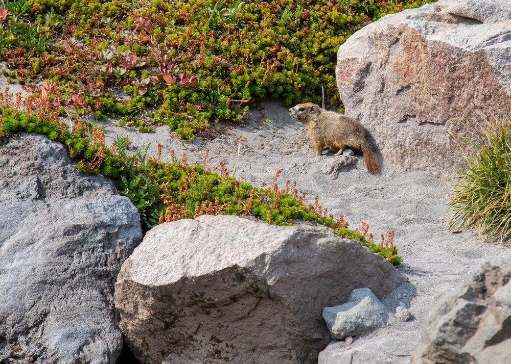 The one lone marmot we saw on the hike.