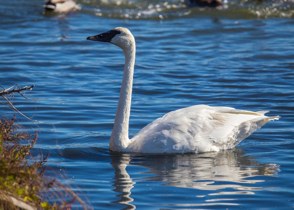 The first trumpeter swan I've seen at the sanctuary.