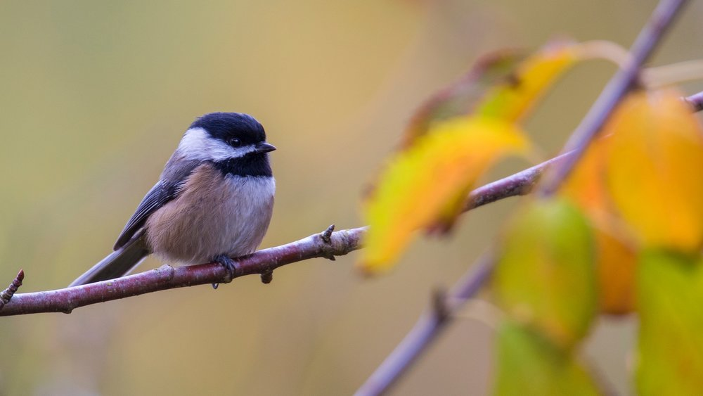 Chickadee in fall colours