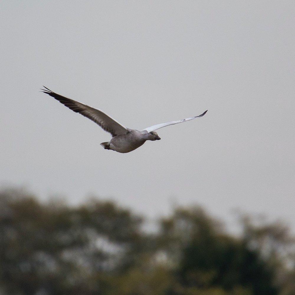 Refeil Snow Geese - 6.jpg