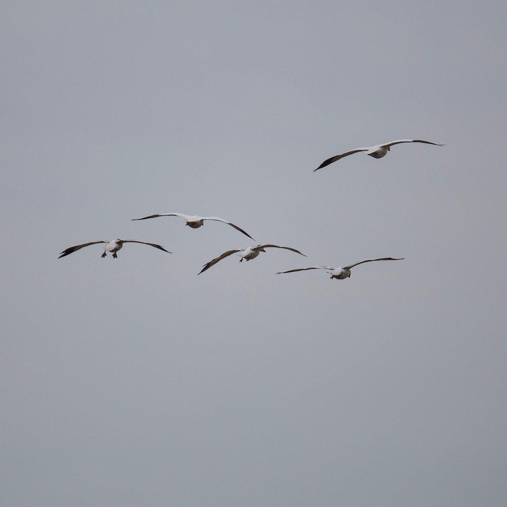 Refeil Snow Geese - 8.jpg