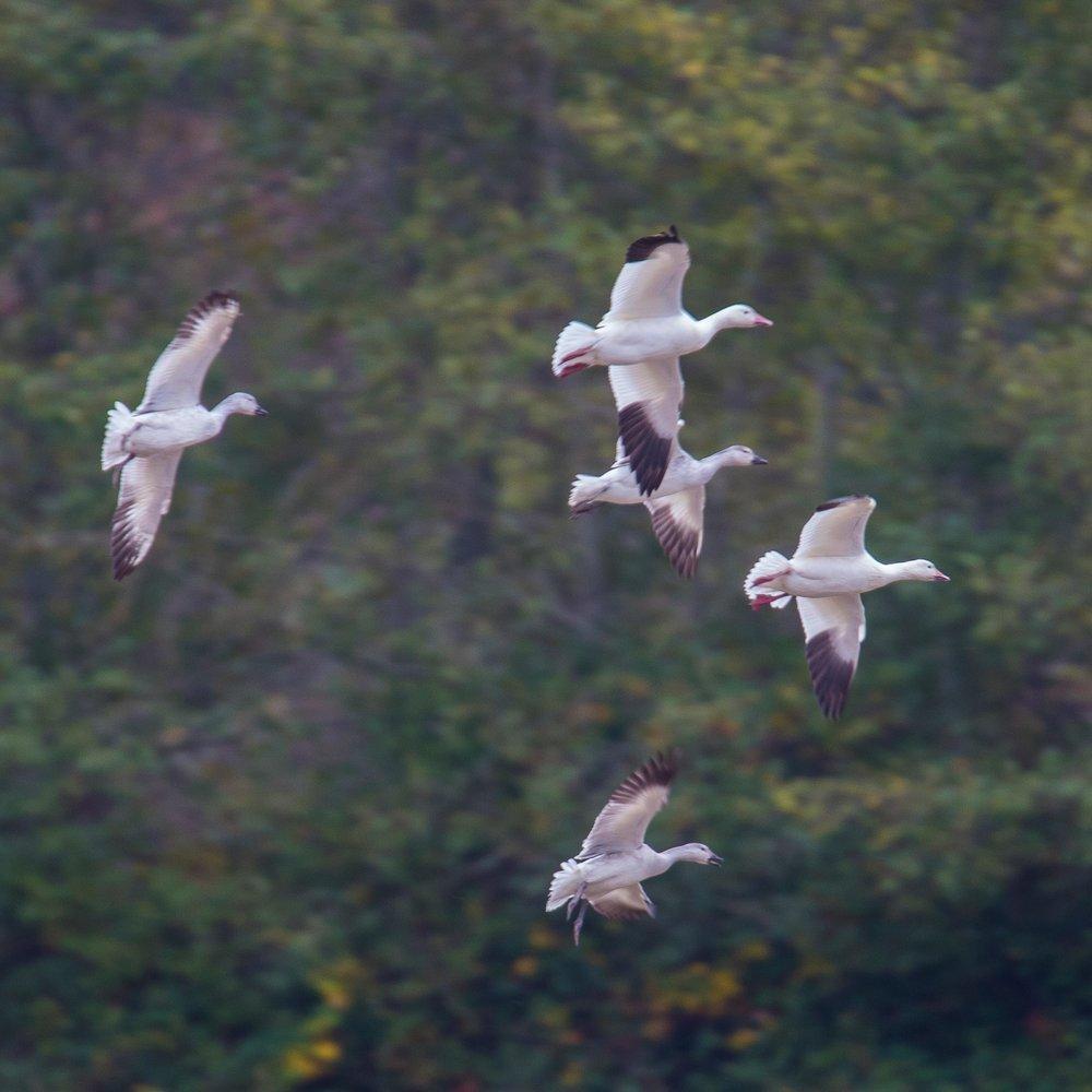 Refeil Snow Geese - 12.jpg