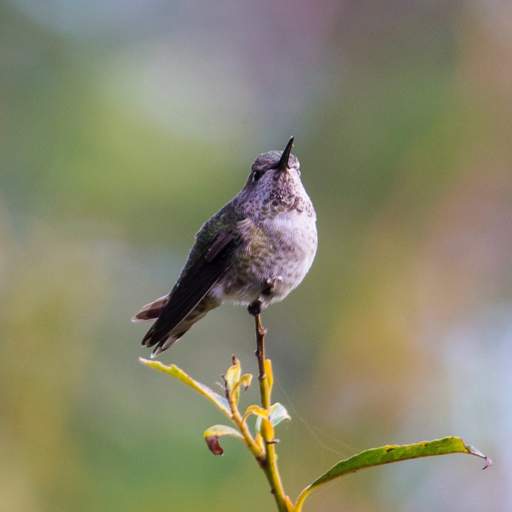 The little female Anna's Hummingbird that was hanging about.