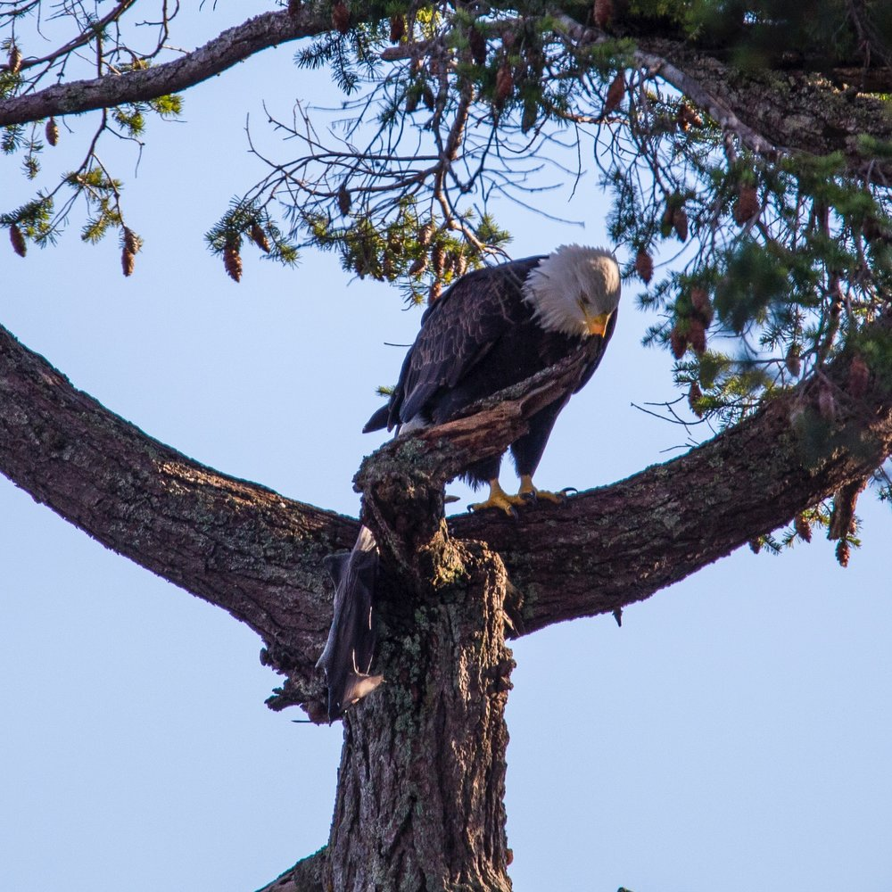 Bald eagle with a fish - a pretty big one!
