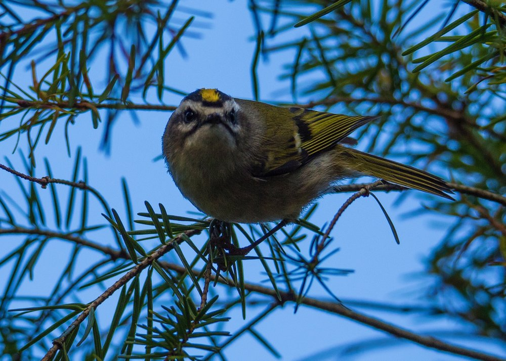 The Golden-crowned Kinglet was checking us out.