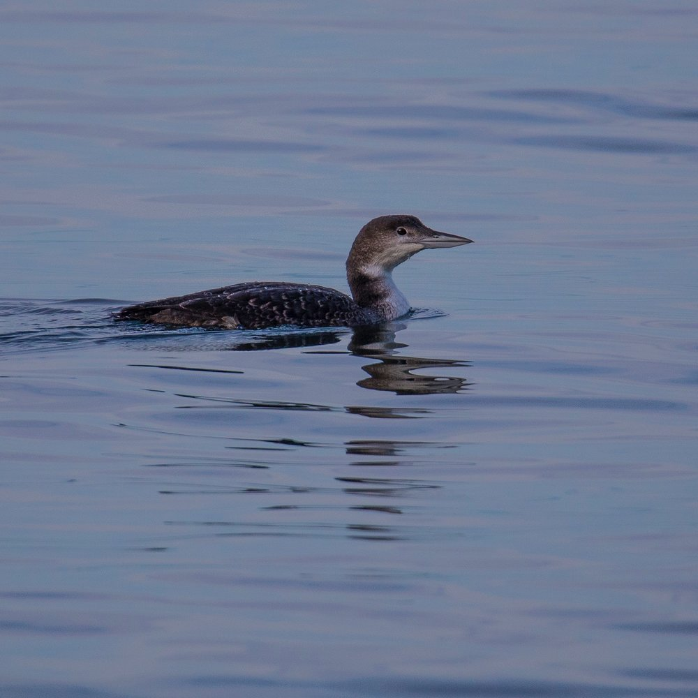 Another loon