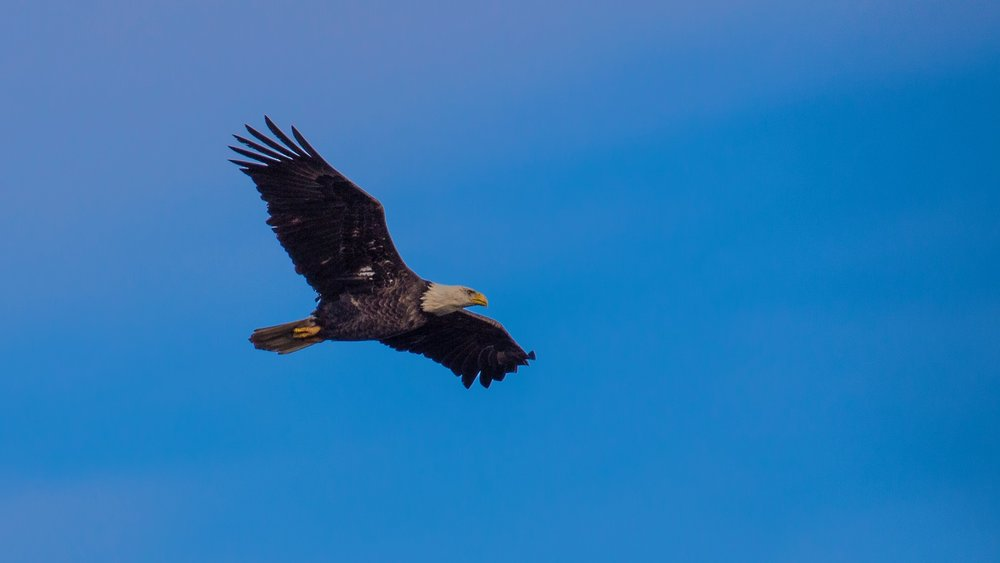 One of the many bald eagles on the day.