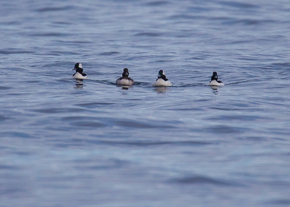 There was a small flock of buffleheads hanging out.
