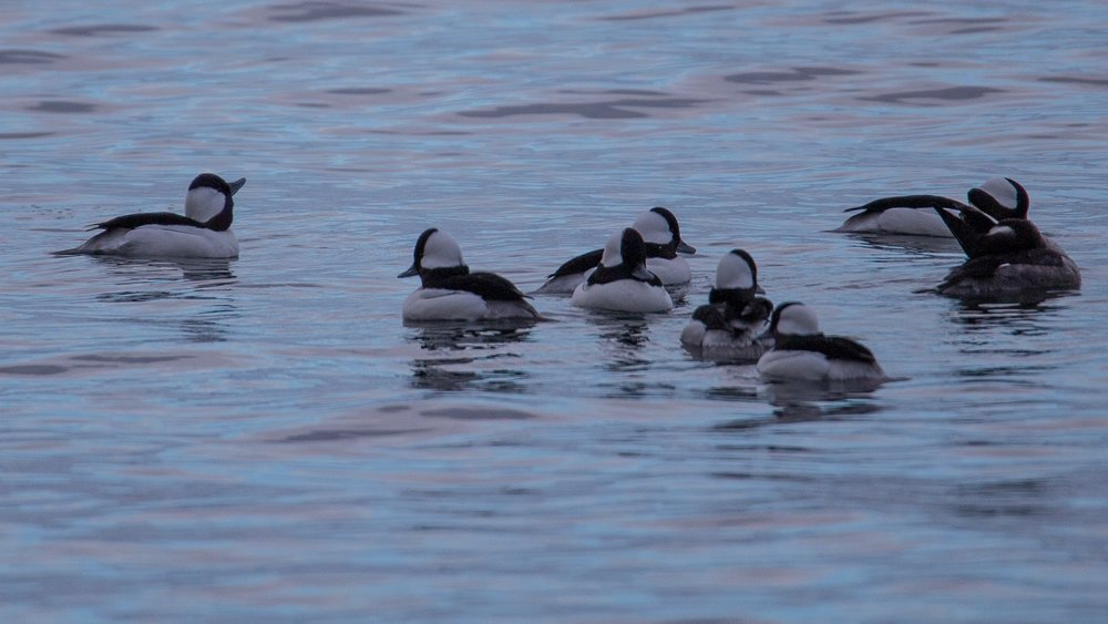 A little flock of buffleheads.