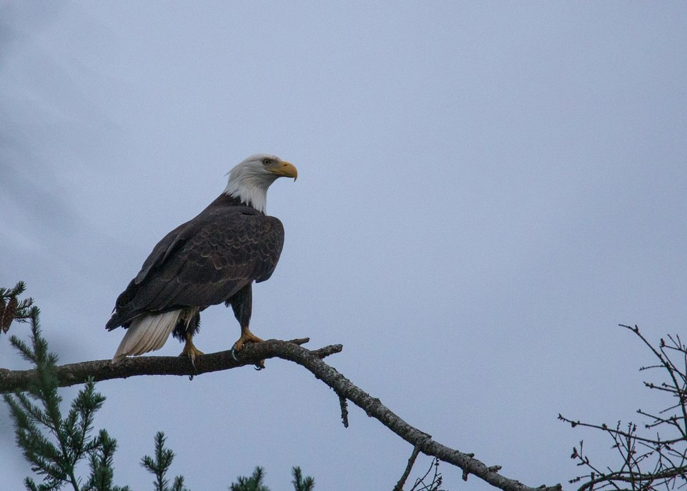 As I was exploring, a bald eagle flew in and landed in one of the trees almost right above me.