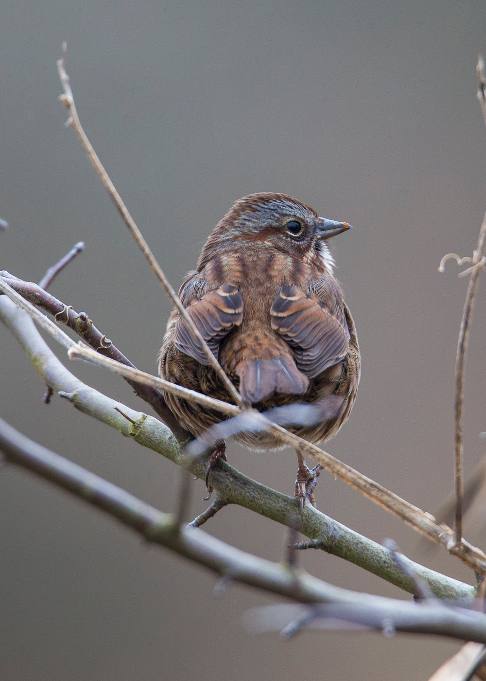 I believe this is a Song Sparrow, but I'm open to being corrected. What struck me was the pattern on the feathers from behind - looks like eyes on a much bigger bird!