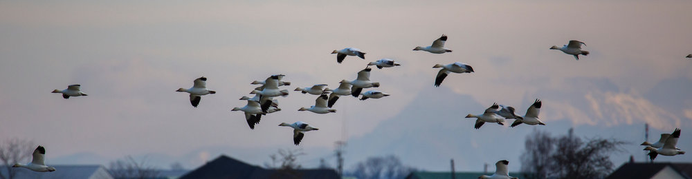 The day got off to a good start with a flock of snow geese in the field near the entrance. Click to enlarge.