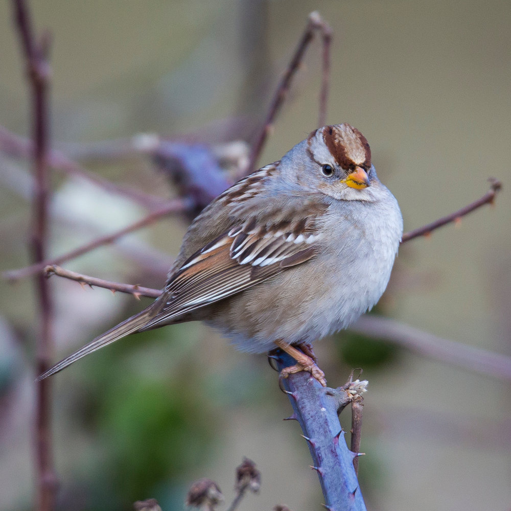 I think we determined that this was a juvenile white crowned sparrow. Took a while to figure that one out.
