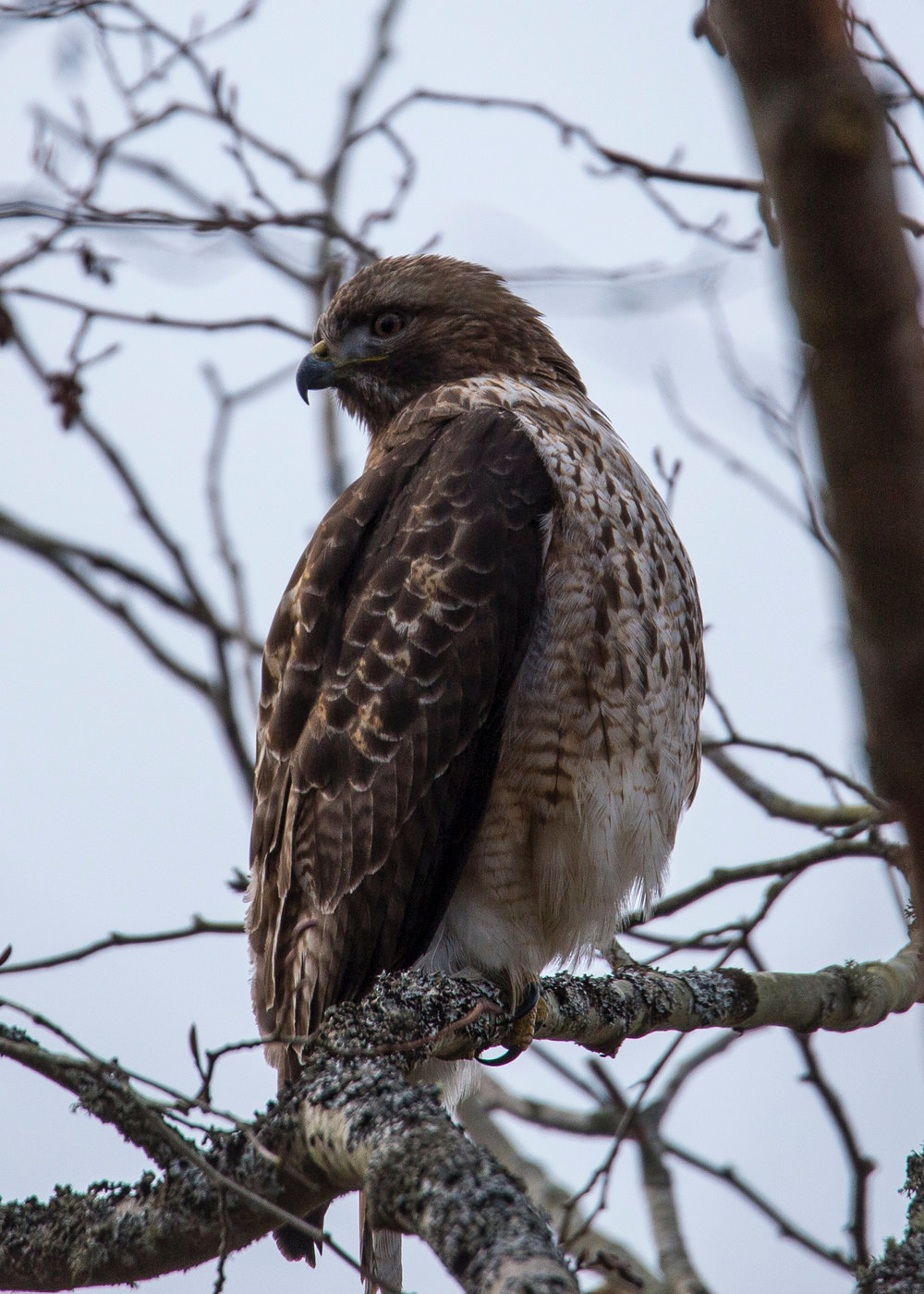 As we wandered one of the inner trails, Justine spotted a red-tailed hawk sitting in one of the lower trees.