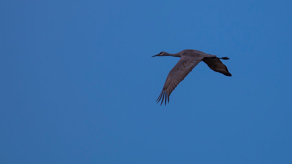 At one point, the sandhill cranes burst into flight. I managed to snag a couple of OK shots.