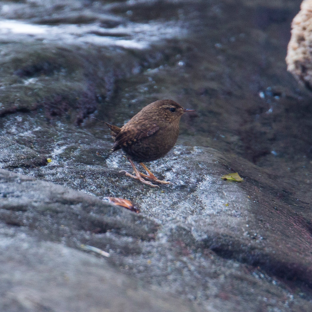 Another new species positively ID'd - Pacific Wren.