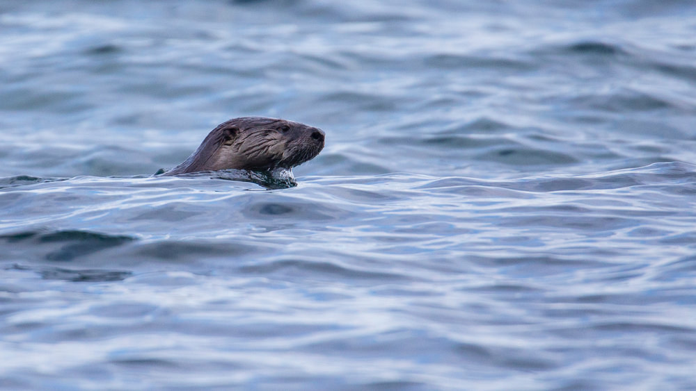 Just as we were about to leave, an otter swam by!