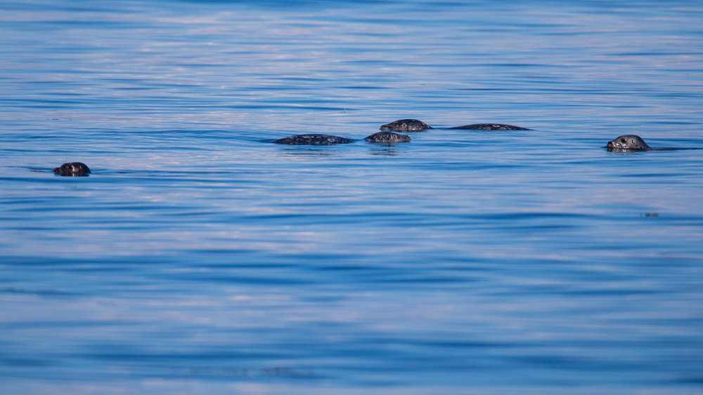 There were 11 or 12 harbour seals hanging about.