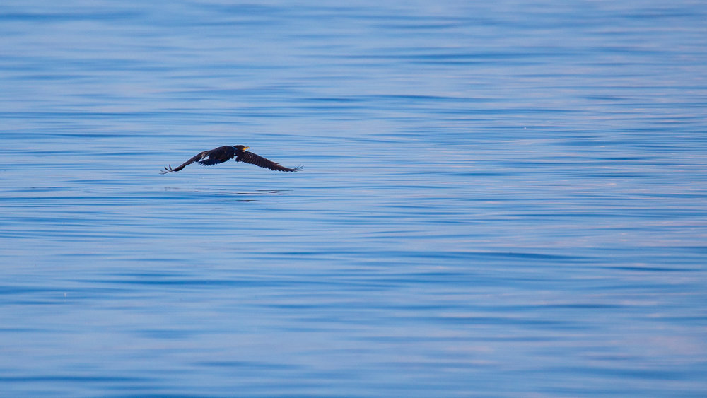 Double-crested Cormorant, taking off