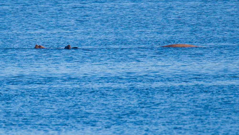 Justine noticed a few sea lions cavorting out in Active Pass.