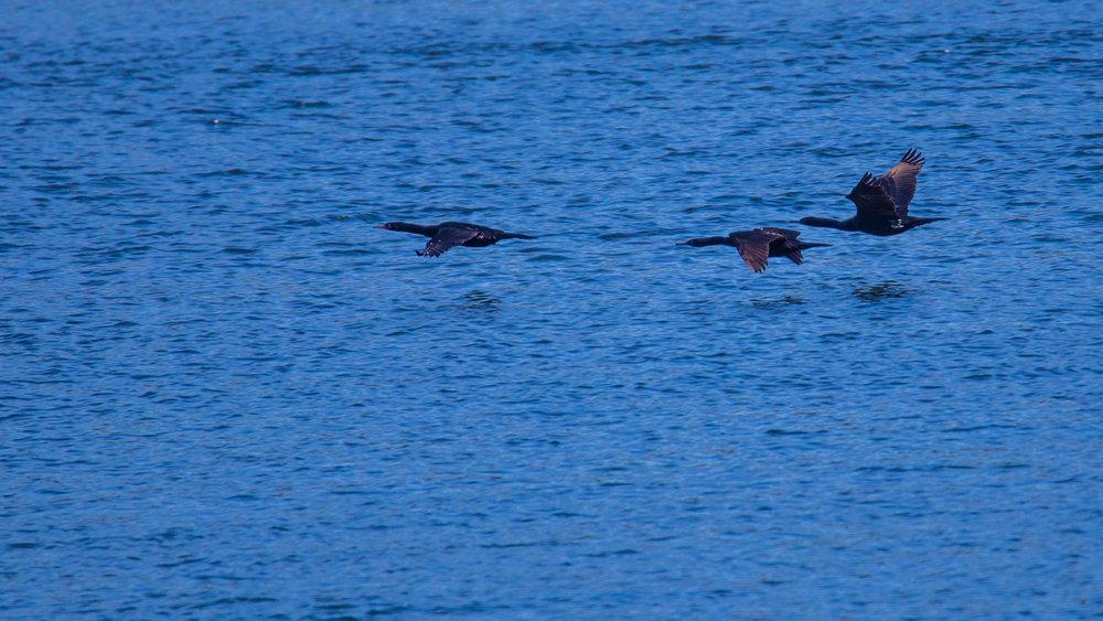 Pelagic Cormorants flying through Active Pass.