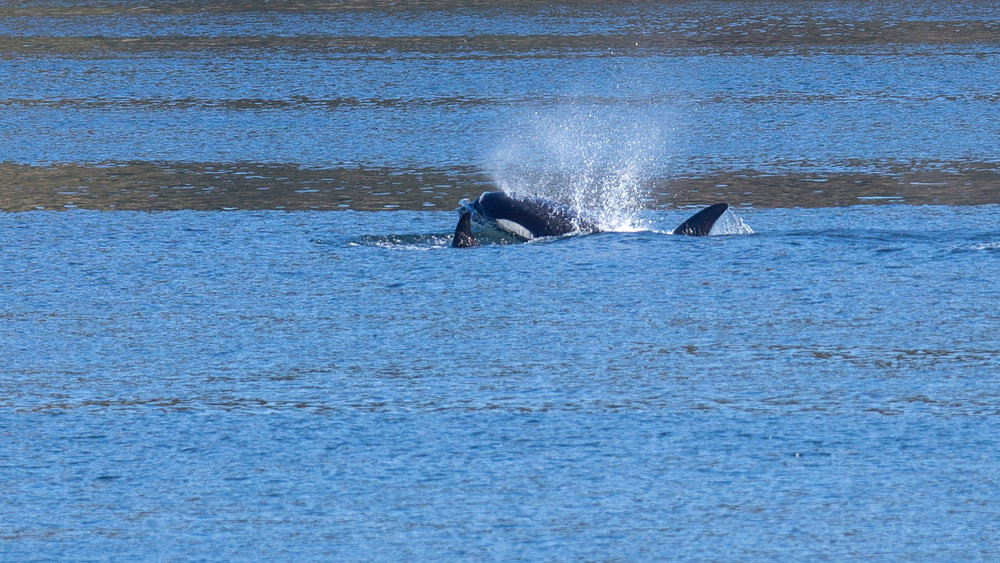 2019 03 Galinao Orcas - 22.jpg