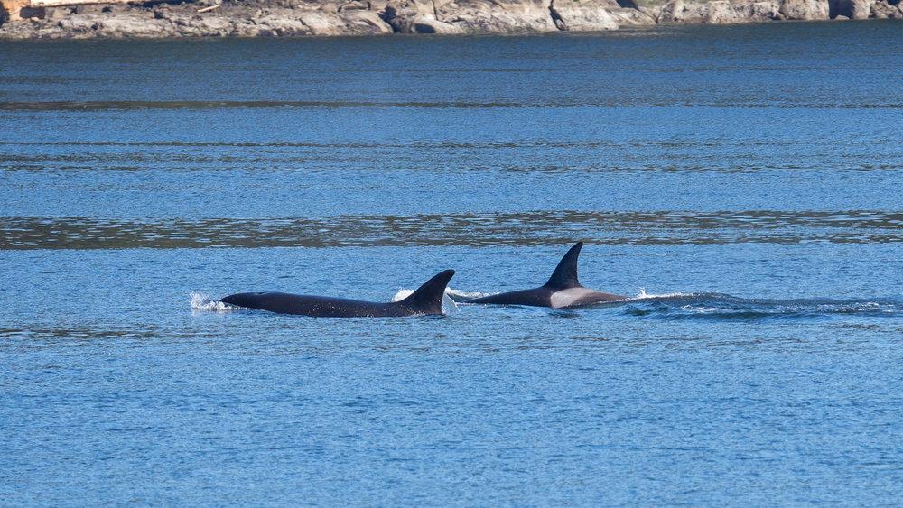 2019 03 Galinao Orcas - 14.jpg