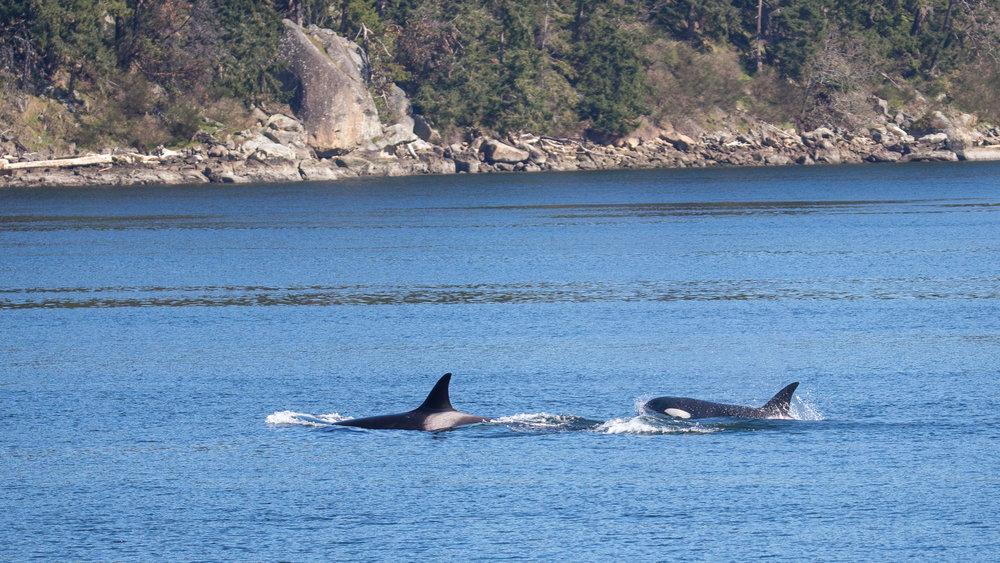 2019 03 Galinao Orcas - 26.jpg