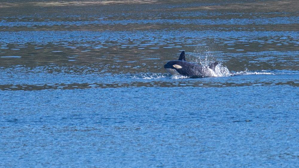 2019 03 Galinao Orcas - 29.jpg