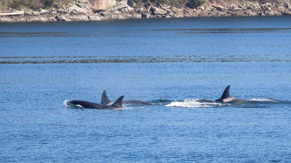 2019 03 Galinao Orcas - 28.jpg