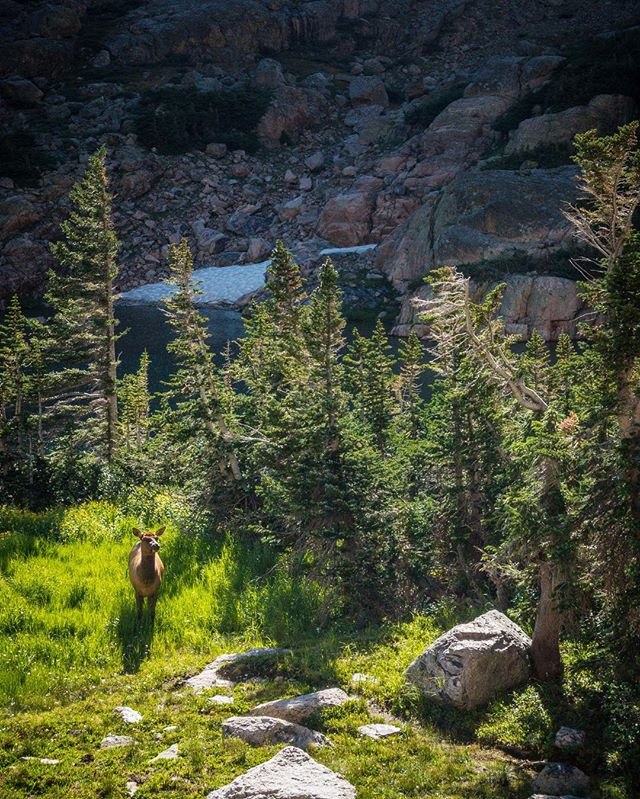 A turn in the spotlight. #rmnp 🦌-adjacent . . Sky Pond, Rocky Mountain National Park, Colorado, 2016 . . . . . . . #colorado #rockymountainnationalpark #hiking #nature #optoutside #nationalpark #visitcolorado #travel #explore #wilderness #elk #sonyrx100m3 #sony #sonyrxmoments #rx100m3 #justgoshoot #roamtheplanet #photographer #sonyrx100iii #tuesday #summer #photooftheday #instapic #july #animals #sunlight #shadows