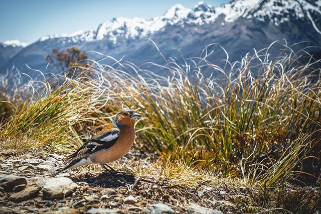 I only hang out with models 📸. @purenewzealand, what flavor of bird is this? . Key Summit Trail, South Island, New Zealand, 2015 . . . . . #nz #travel #landscape #instagood #travelgram #fiordlandnationalpark #fiordland #landscapephotography #lonelyplanet #nzmustdo #natgeoyourshot #birb #birds #birdsofnewzealand #hikingtrail #sonyrx100m3 #sony #rx100m3 #sonycaptures #modeling