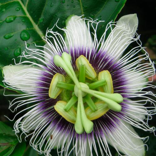 Passiflora blossom