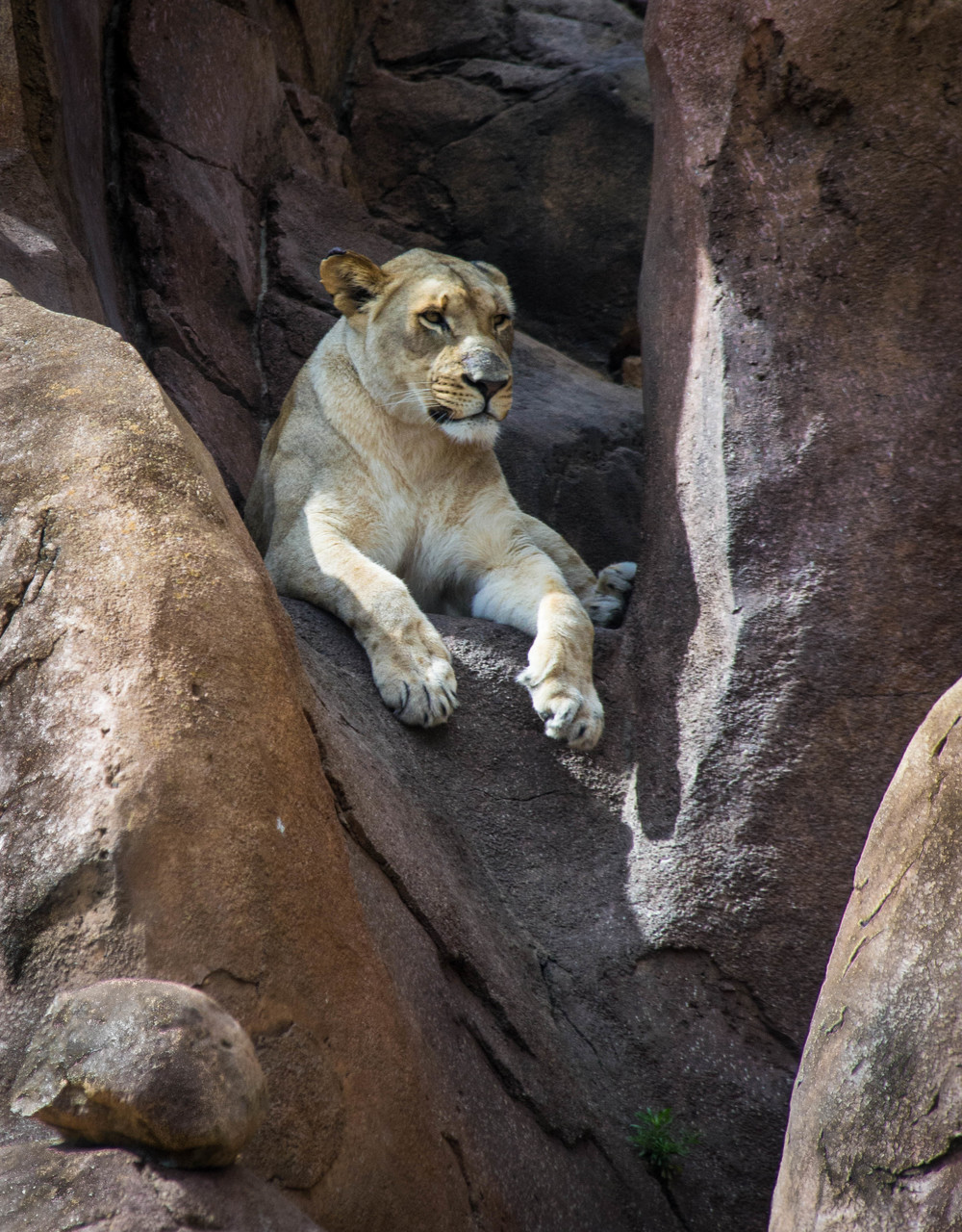 Lion in Waiting