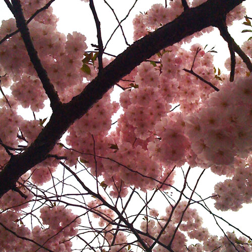 iPhone photography: cherry tree