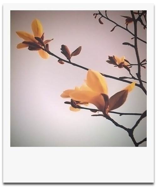 iPhone photography: Magnolia