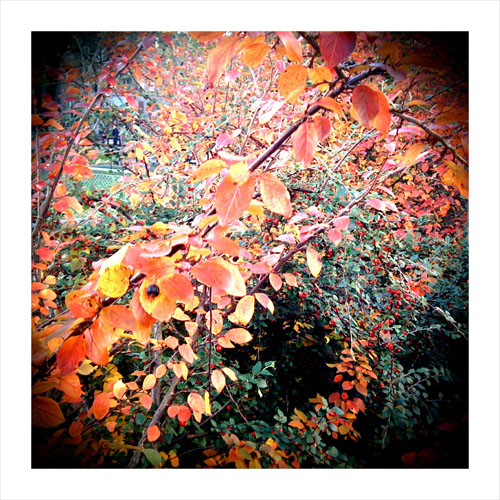 iPhone photography: red leaves and berries