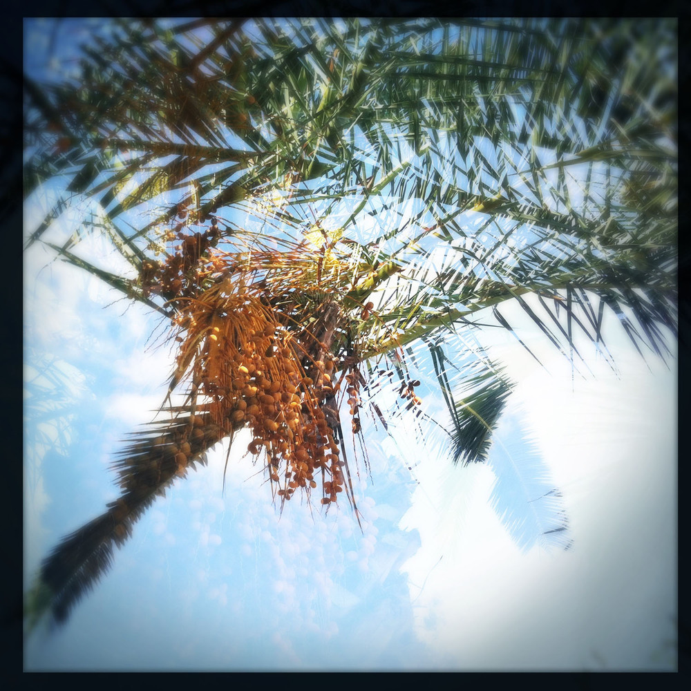 mobile photography: date palm